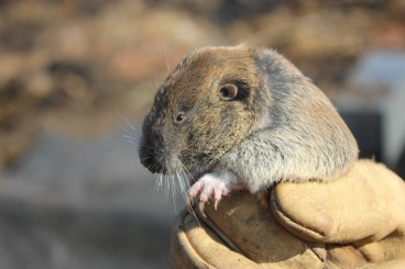 Some in the Thurston County real estate industry blame regulations protecting the threatened Mazama pocket gopher for causing an inventory squeeze around Olympia. That assessment may be premature, city and county officials say. (Courtesy Washington Department of Fish and Wildlife.)