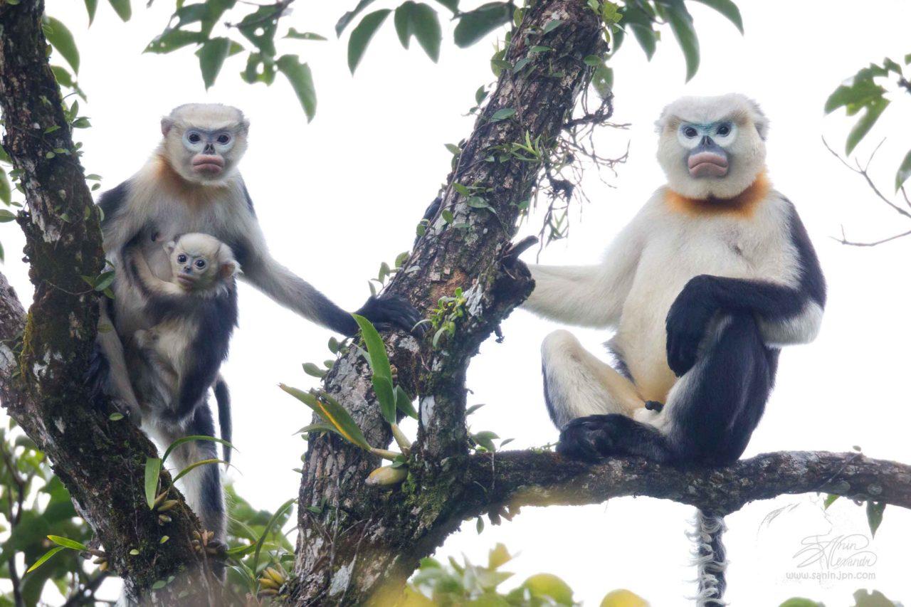 Image result for tonkin snub nosed monkey