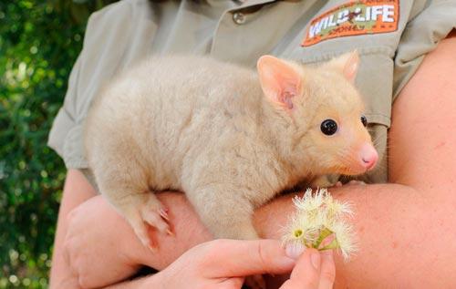 Image result for golden brushtail possum