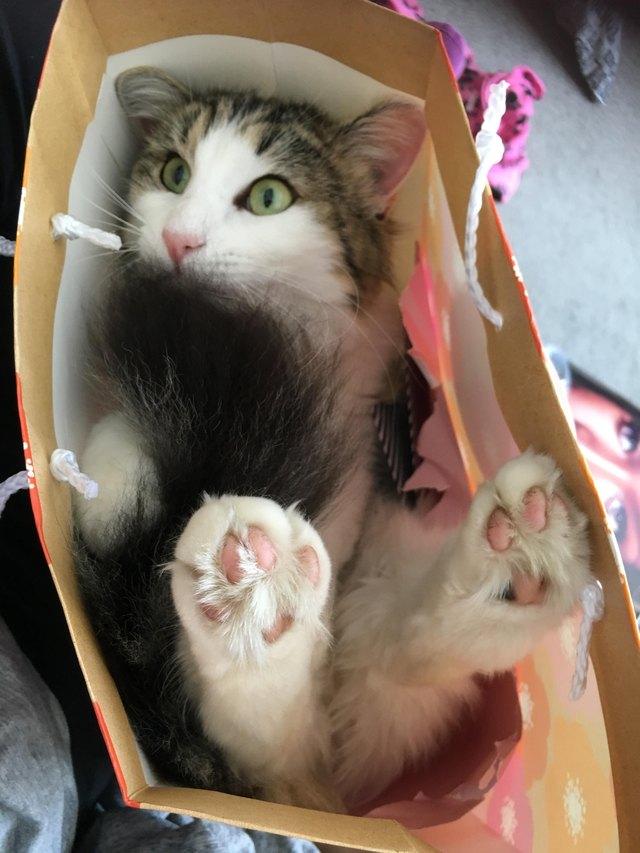 Cat in a gift bag