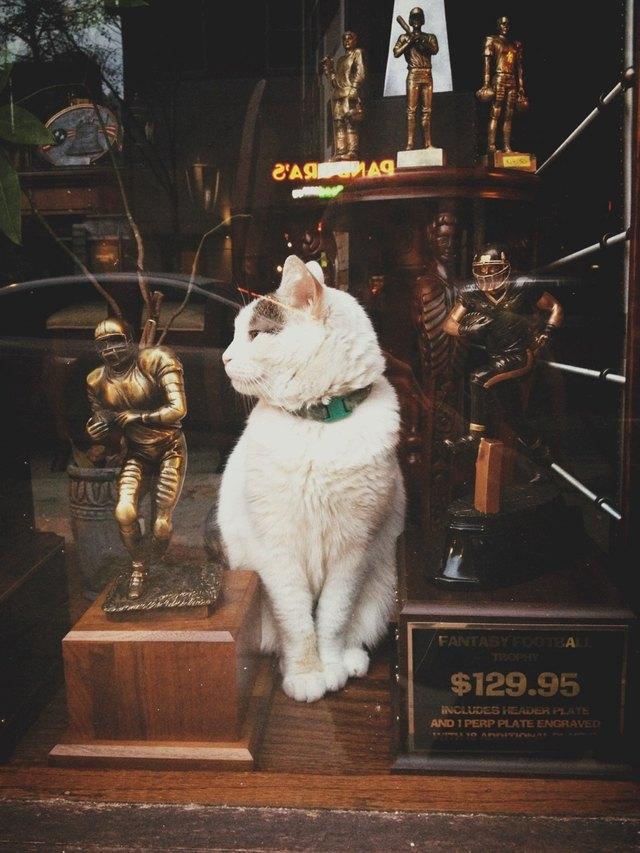 Cat in the window of a trophy shop.