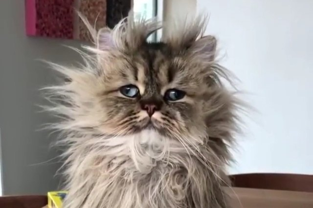 fluffy cat looking disoriented