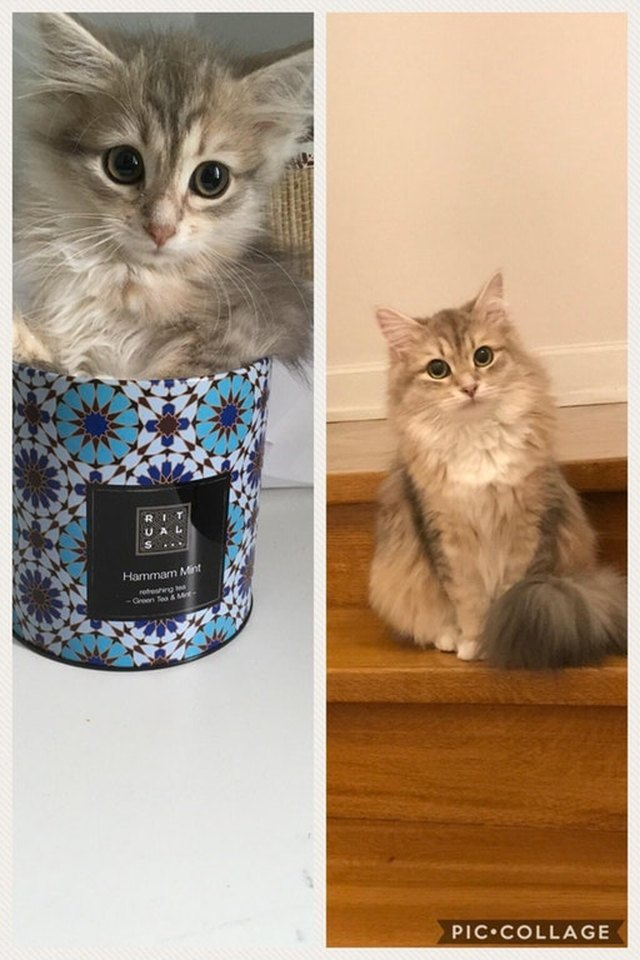 Side by side photos of cat as a kitten sitting in a mug and as an adult.