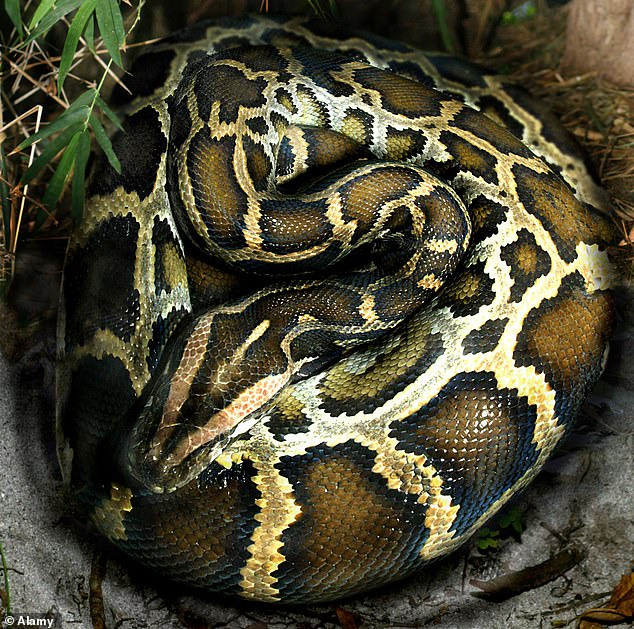 Indian rock pythons are known as python molurus. They generally reside in a variety of different habitats but they need a permanent source of water (stock image)