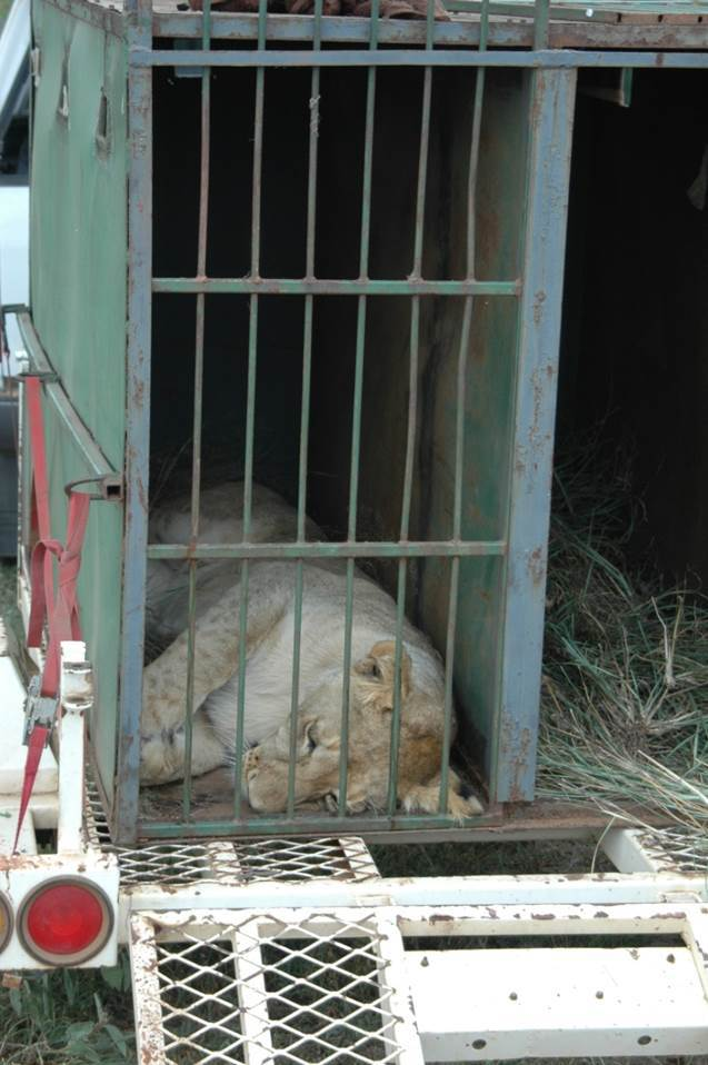 A lion translocation. Copyright Susan Miller.