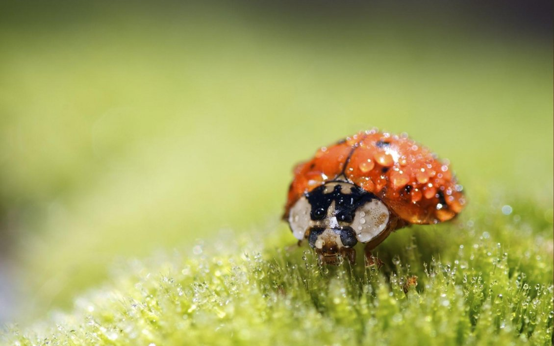good morning ladybug - macro wallpaper