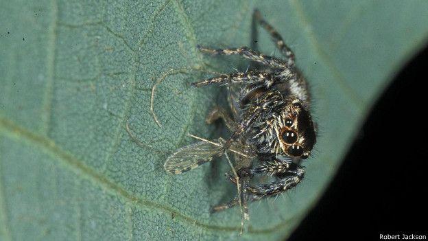 A esta araña solo le gustan los mosquitos hembra llenos de sangre humana.