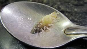El Cymothoa exigua nace como macho y se convierte en hembra cuando se alimenta de la lengua de su víctima.