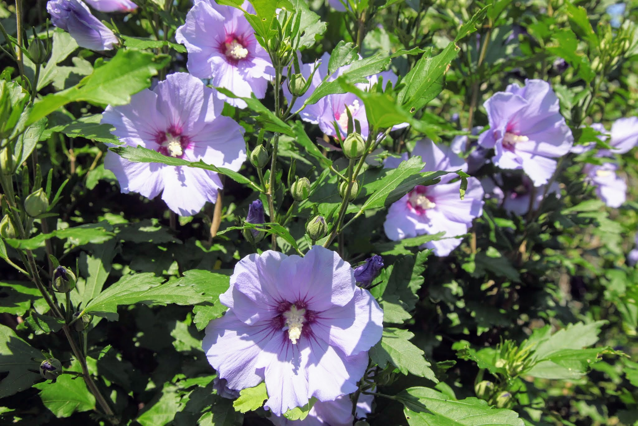 The Martha Stewart Blog Blog Archive My Flowering Rose Of Sharon