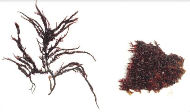 Newly discovered species Hypnea Indica and Hypnea Bullata