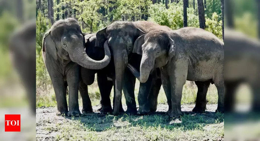 Former circus elephants begin to arrive at Florida sanctuary – Times of India