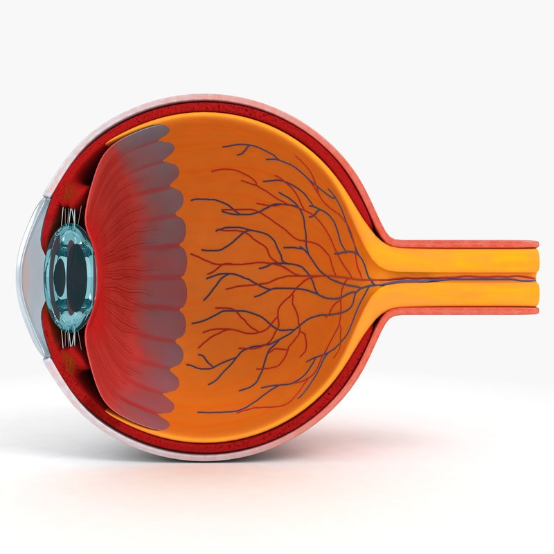 3d eye anatomy model