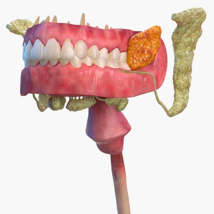 Human digestive anatomy 3D model - TurboSquid 1468961