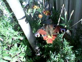 jekylla_butterfly