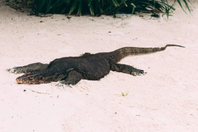 Hong Island - Monitor lizard