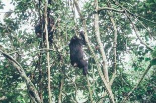 Schimpansen-Trekking im Kibale Nationalpark