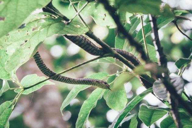 Schwarze Mamba im Bwindi Natinoalpark