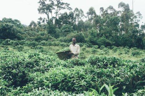 Teeplantage und Arbeiter in Uganda