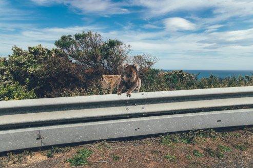Ein Koala auf der Great Ocean Road Australien