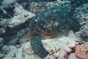 Wasserschildkröten beim Tauchen um Aitutaki