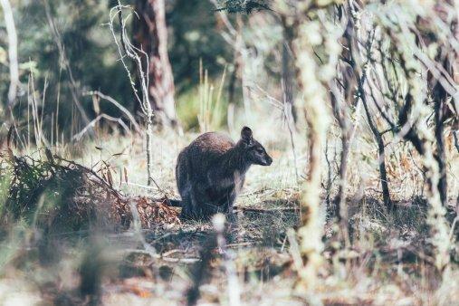 Ein Wallaby auf der Curringa Farm - Tasmanien
