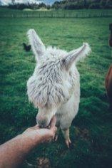Alpaka Fütterung