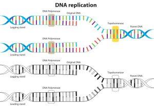 DNA Replication Vector Diagram  Download Free Vector Art