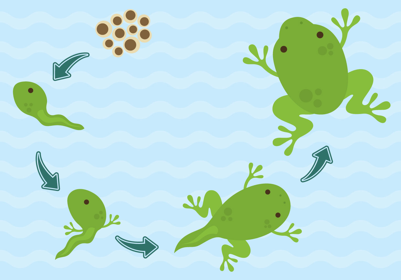 Vector Life Cycle Of Frogs