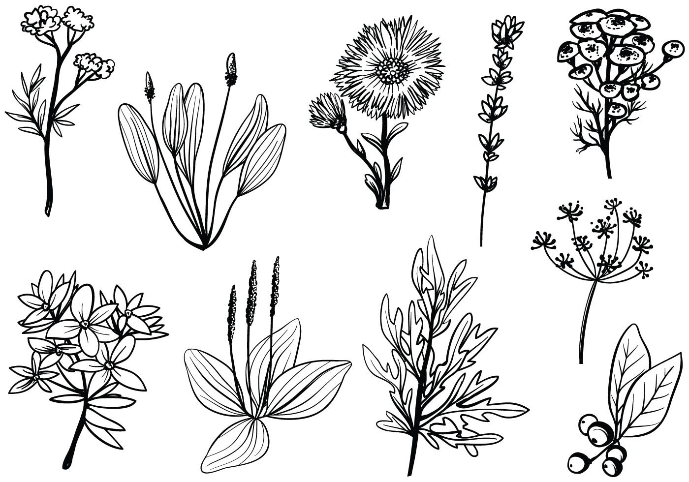 Free Medicinal Herbs Vectors