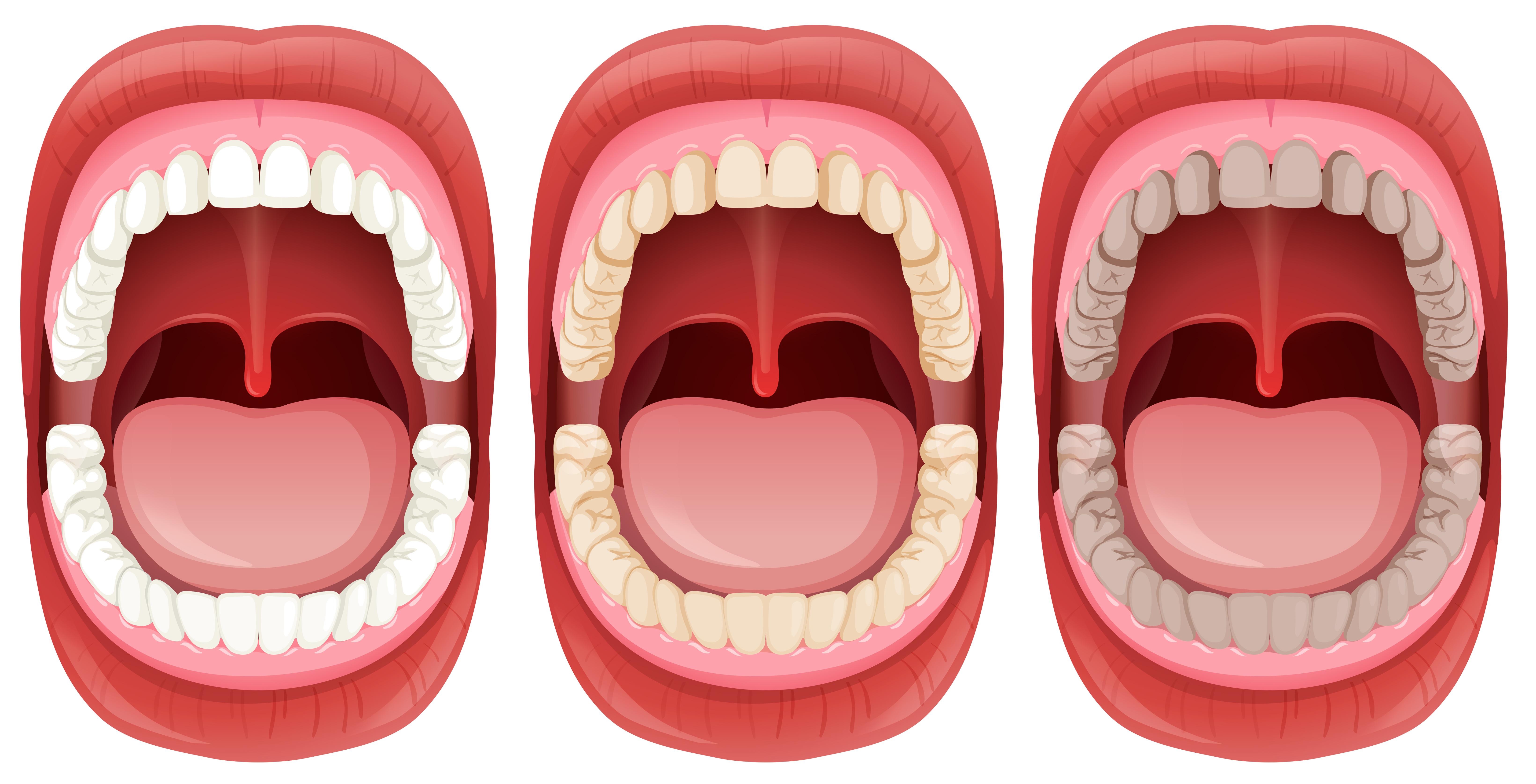 A Set Of Human Mouth Anatomy