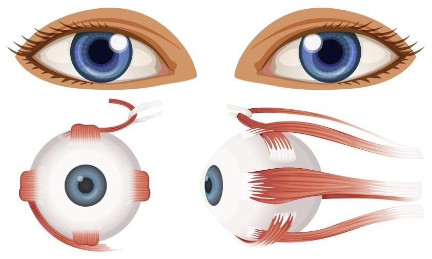 Human Anatomy of Eyeball - Download Free Vectors, Clipart ...