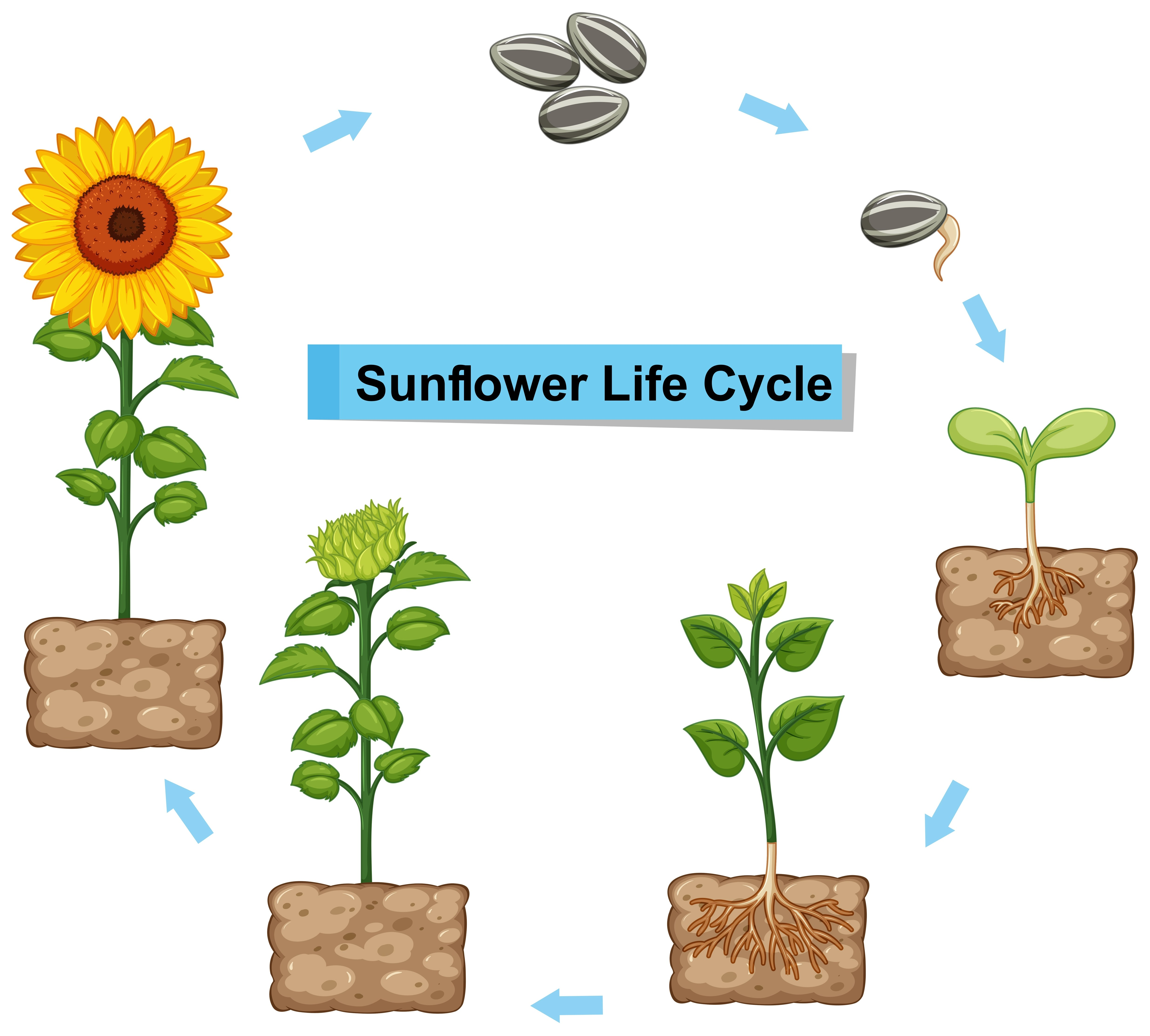 Diagram Showing Life Cycle Of Sunflower