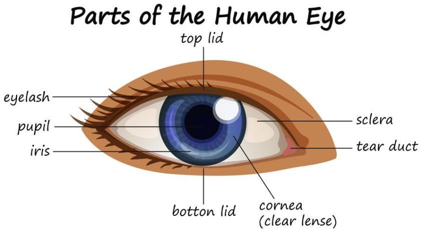 Diagram showing parts of human eye - Download Free Vectors ...