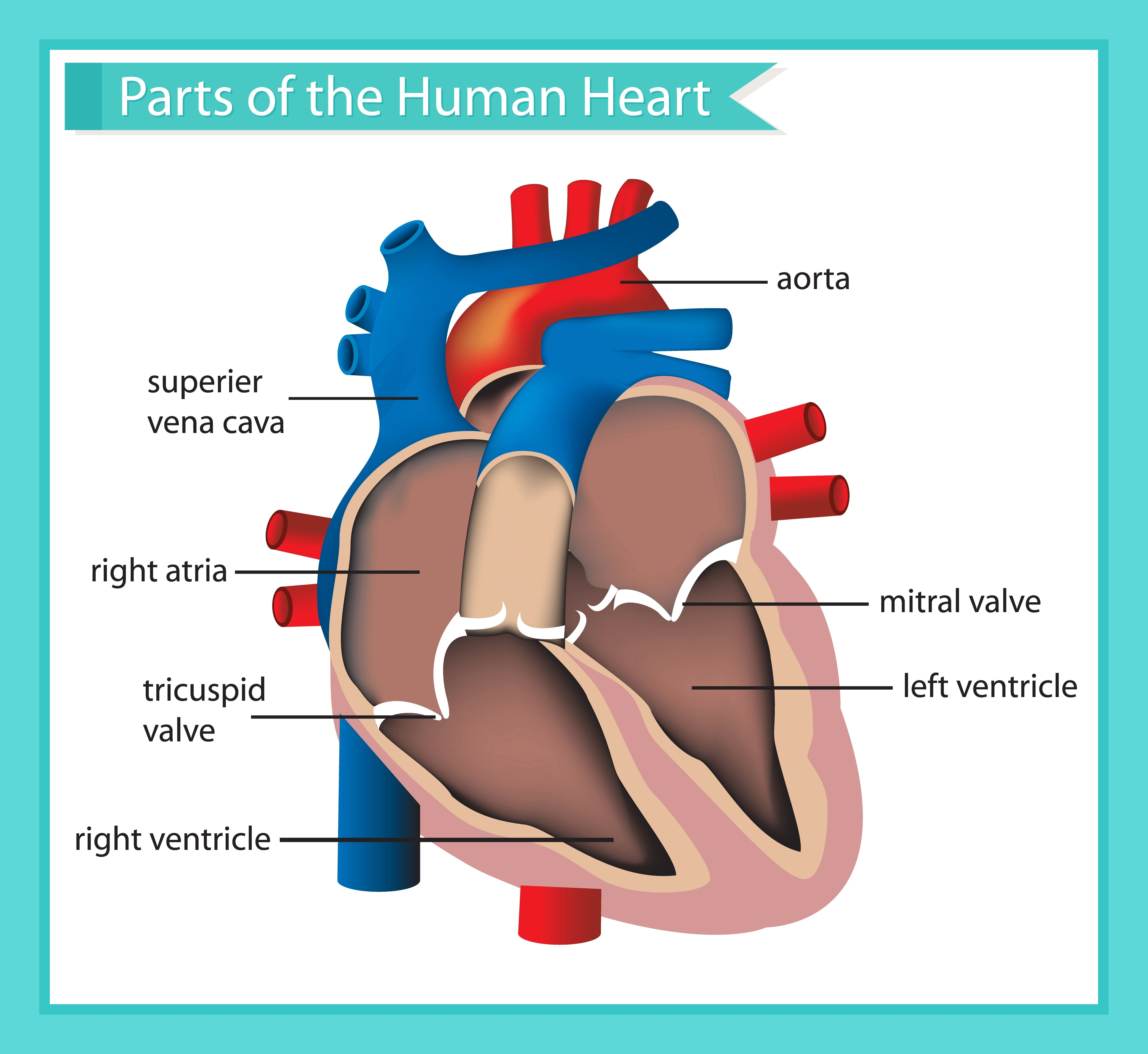 Scientific Medical Illustration Of Parts Of The Human
