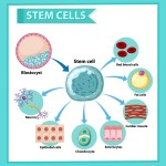 Information Poster On Human Stem Cell Educational Content Download Free Vectors Clipart Graphics Vector Art