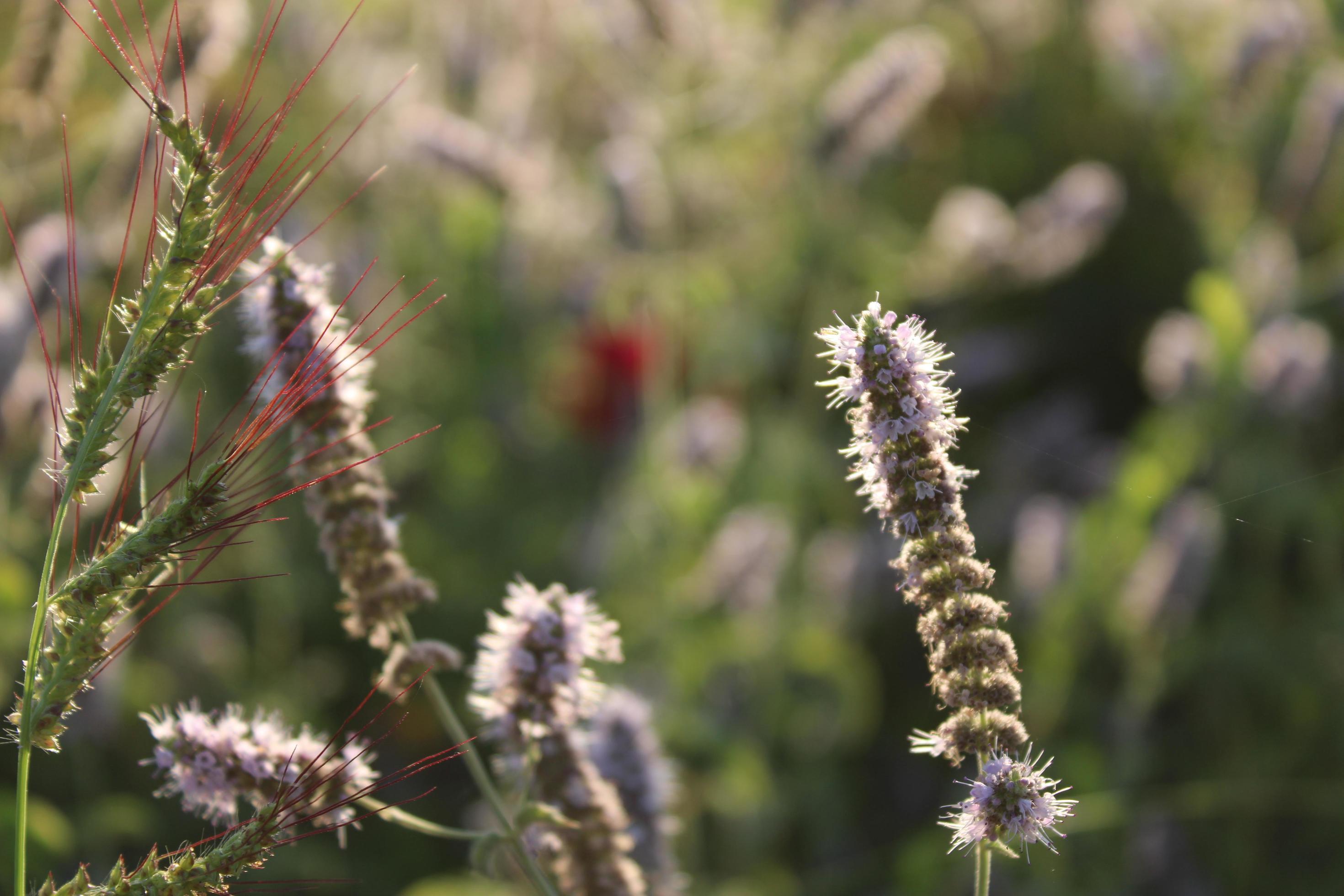 plante de lavande au printemps avec des