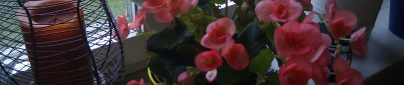 Blomma… blomstrar!
