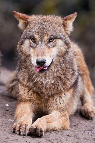 En varg i huset är rätt mysigt