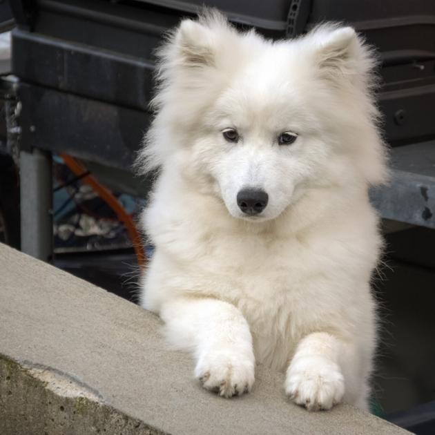 belles races de chiens blancs