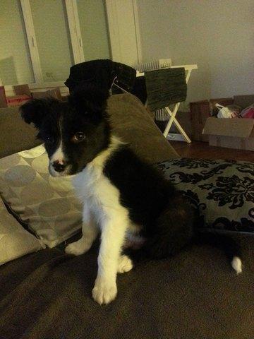 forum eduquer son chien border collie