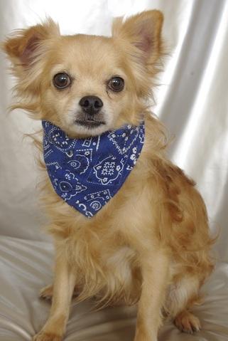Flyan Chien Crois Chihuahua Epagneul Tibetain