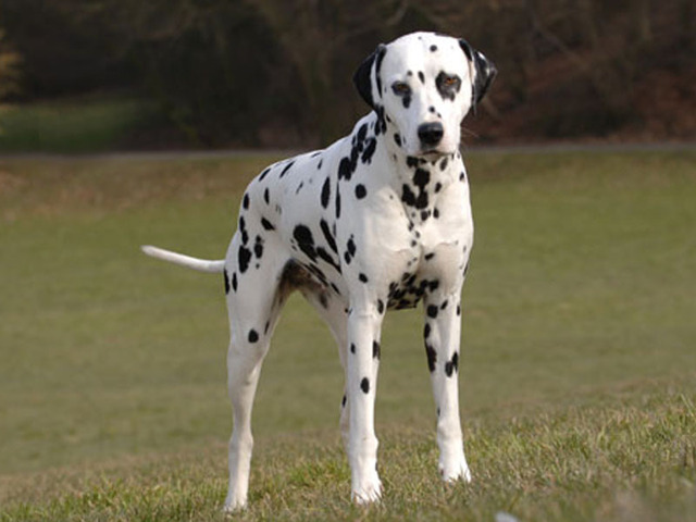 Photo Chien Dalmatien 1170 Wamiz