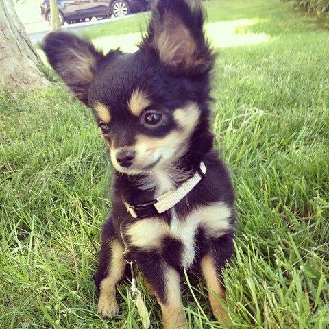 Le Post De Tous Les Chihuahua De Chiot A Adulte Forum