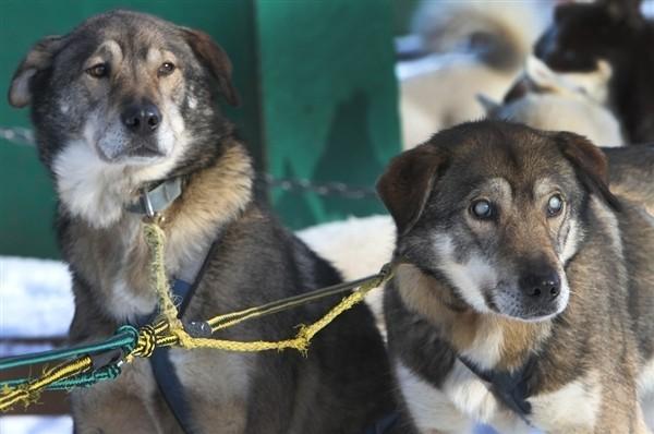 un chien de traineau aveugle aidé par son frère
