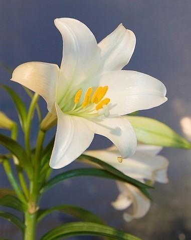 10 plantes toxiques pour les chats et les chiens nuage ciel d 39 azur - Plantes non toxiques pour les chats ...