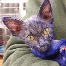 chaton violet