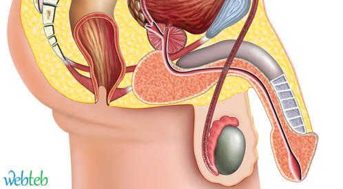 دليلكم لفهم القضيب والجهاز التناسلي الذكري ويب طب