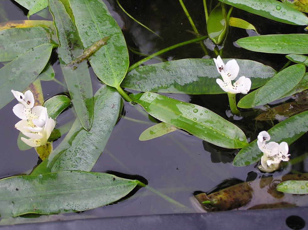 Mail Order Pond Plants