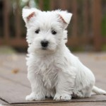The West Acres Westie Puppies Missouri