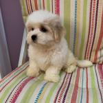 Puppies Available In Uae